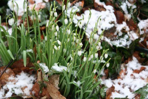 perce neige 13 fev 001.jpg