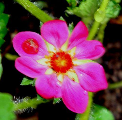fraisier fl rouge romi 11 avril 043.jpg