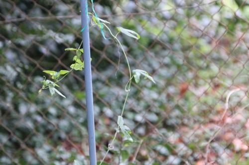 11 passiflora caerulea veneux 23 janv 2016 028 (2).jpg