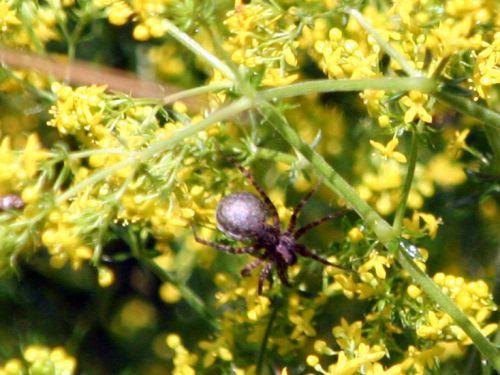 araignée galium romi 16 juin 065.jpg