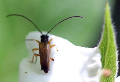 mespilus germanica longicorne 12 mai 2012 024.jpg