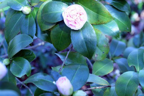 camellia 20 mars 005.jpg