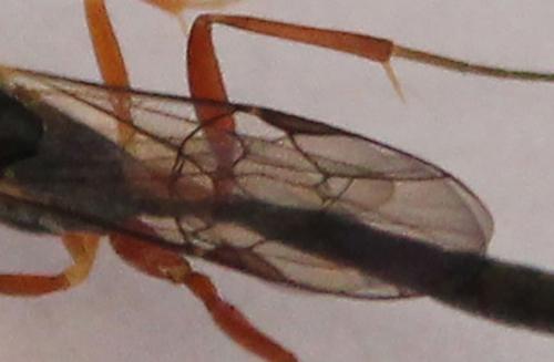 8 glypta scalaris ailes 9 déc 2014 006.jpg