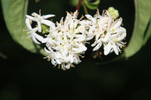 2 heptacodium romi 20 sept 2014 040 (10).jpg