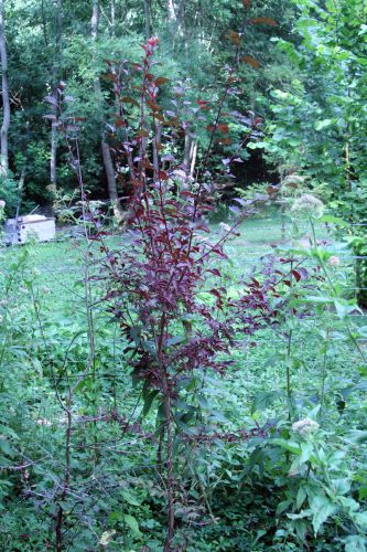 arbuste romi 1aoûi 2010 049.jpg