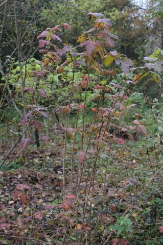 7 vib opulus roseum romi 15 nov 2014 013.jpg