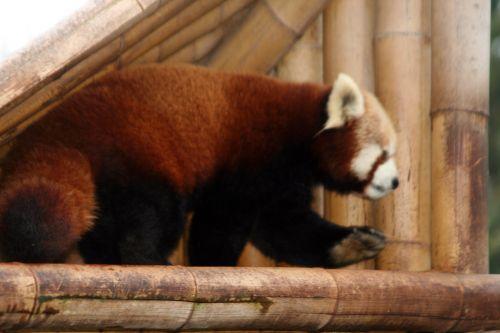 petit panda 9 fev 058.jpg