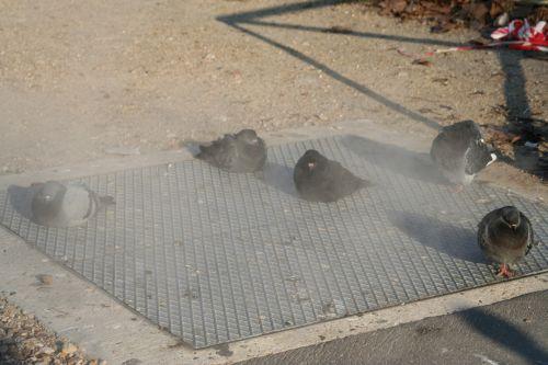 pigeons vapeur 19 déc 013.jpg