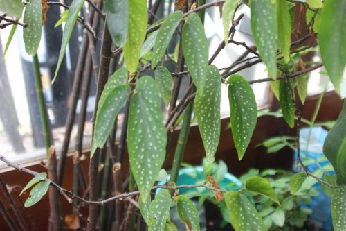 4 begonia maculata 20 mars 2017 IMG_2836 (8).jpg