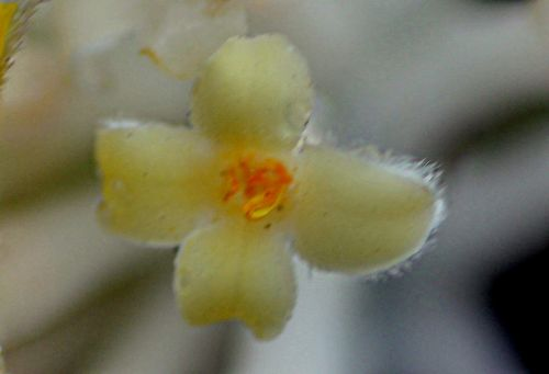 edgeworthia rec veneux 8 mars 2013 f 023.jpg