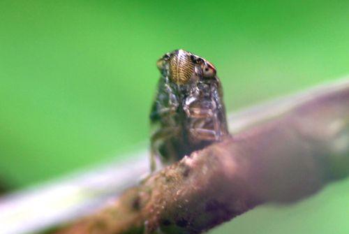 cicadelle face romilly 16 juil 2012 217.jpg