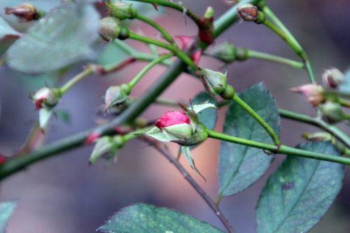 4 fraise des bois romi 6 janv 2012 018 (1).jpg