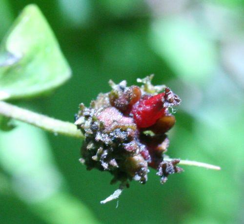 chevrefeuille fruit cosommé 8 sept 2008 014.jpg