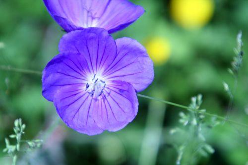 geranium romi 7 juin 051.jpg