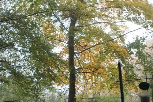 2 arbres veneux 15 nov 2017 003.jpg