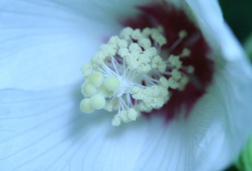 4 hibiscus para veneux 29  juil  2010 008.jpg