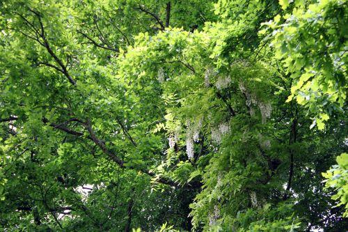 3 wisteria veneux 26 mai 2013 013.jpg