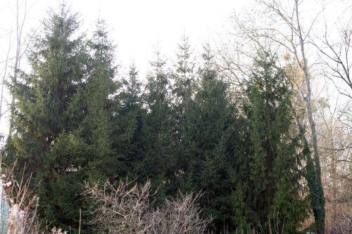 terrain coniferes 18 déc 013.jpg