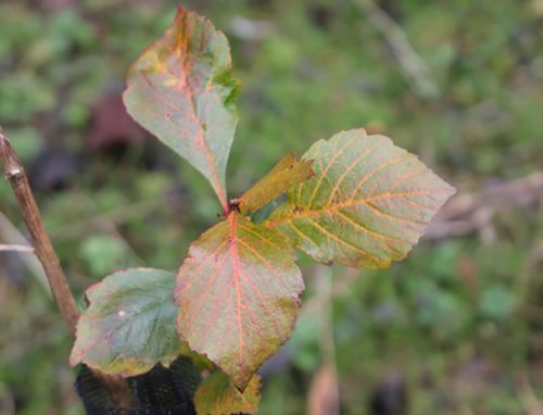 1 crataegus pedicellata 6 janv 2012.jpg