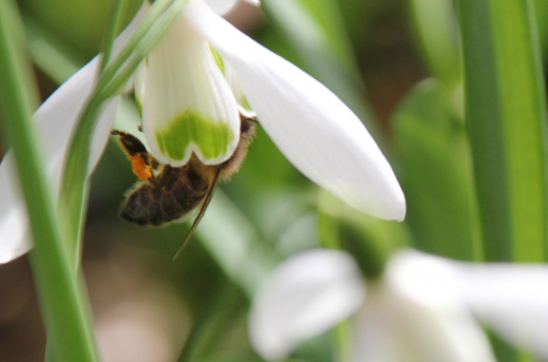 abeille veneux 28 fev 2015 039.jpg