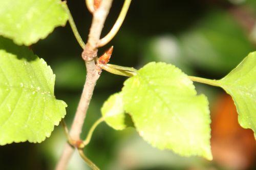 arborescens radiata 2 nov 2012 004.jpg