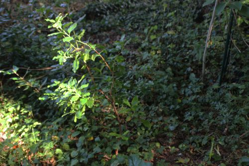1 arbutus andrachnoides veneux 14 sept 2014 001 (9).jpg