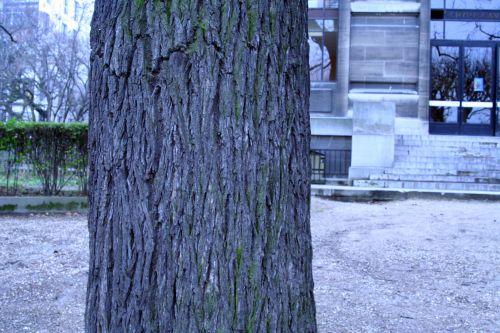 juglans nigra écorce paris 15 dec 120.jpg