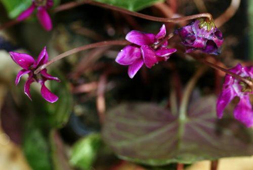 cyclamen fleurs 27 sept 2008 001 (33).jpg