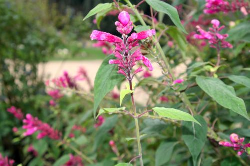salvia involucrata paris 1 dec 087.jpg