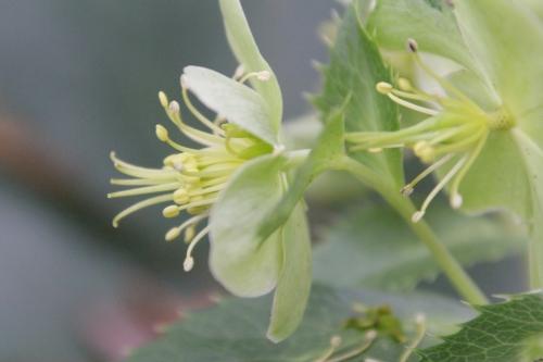4 helleborus argutifolius veneux 5 déc 2014 011 (4).jpg
