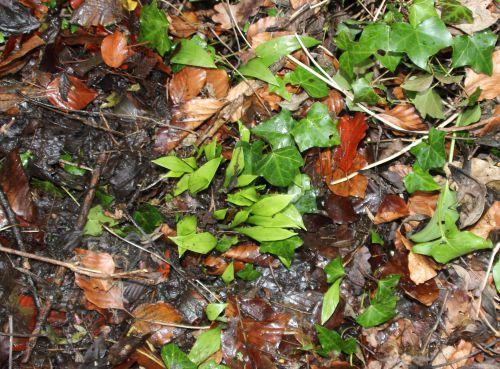 allium ursinum veneux 15 fev 2014 004 (2).jpg