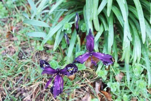 2 iris veneux 7 fev 2016 007 (2).jpg