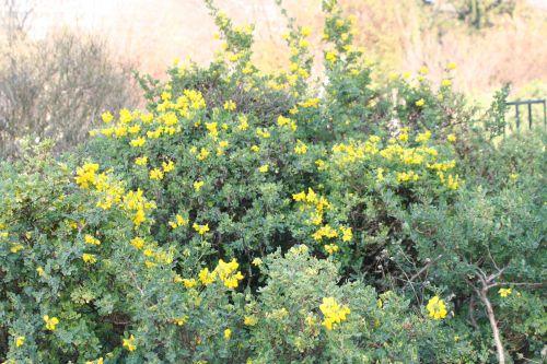 coronilla valentina ssp glauca 28nov 031.jpg