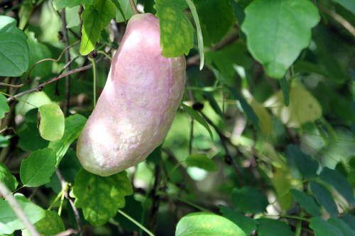 6 akebia trifoliata marnay 21 sept 2013 029 (3).jpg