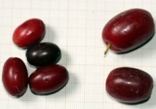 2 cornus mas fruits.jpg