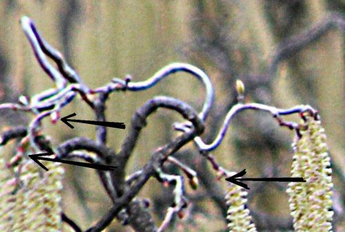 corylus contorta rec paris 3 mars 2012 ppa 096.jpg