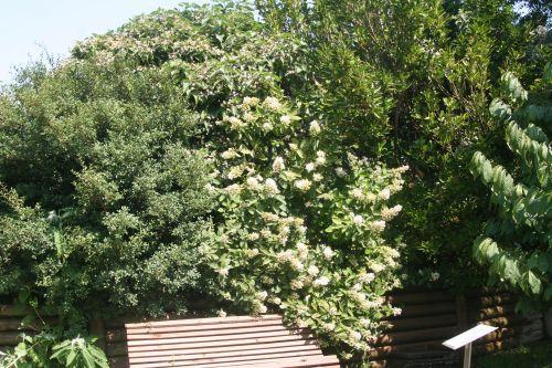 c hydrangea marnay 19 août 024.jpg