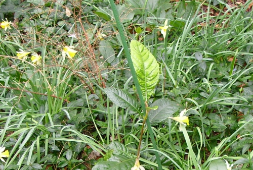 eriobotrya 29 fev 2008 veneux 035.jpg