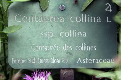 centaurea collina 1 paris 23 juin 2012 416.jpg