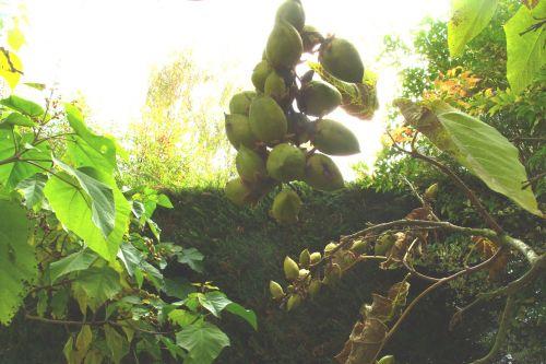 paulownia fruits chèvreloup 20 oct 045.jpg