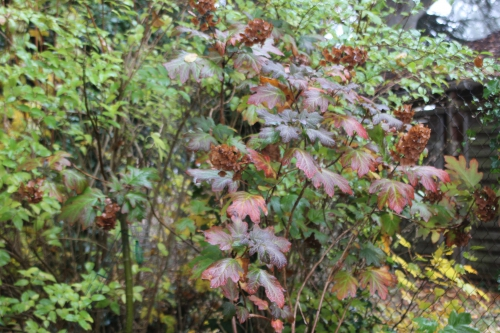 6 hydrangea quercifolia veneux 15 nov 2016 004.jpg
