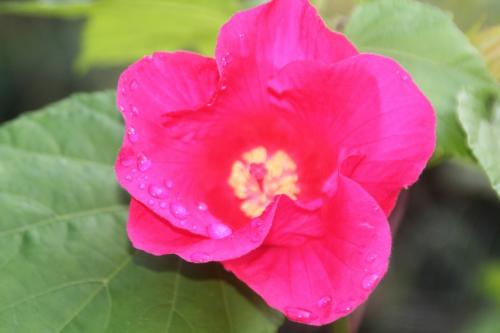 2 hibiscus mutabilis veneux 6 oct 2017 003.jpg