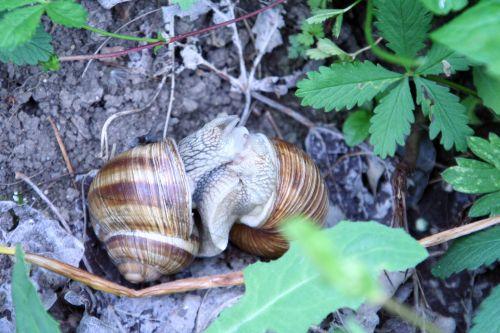 escargots amoureux 22 mai 2008 040.jpg
