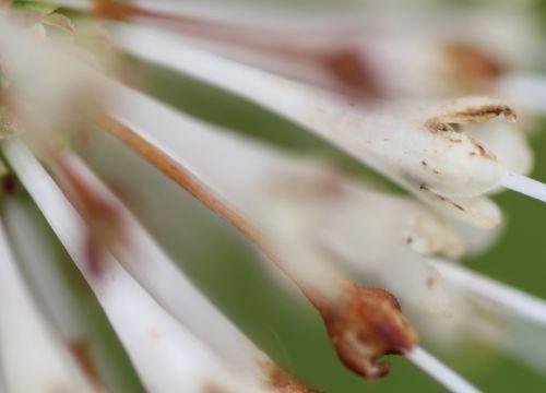 ac cephalanthus corolle barres 27 juillet 2013 128.jpg