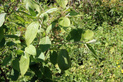 viburnum lantana romi 5 juin 2013 047 (1).jpg
