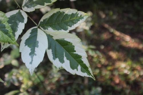 8 acer negundo variegatum romi 27 sept 2016 016 (4).jpg