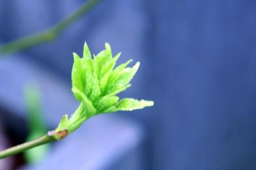 staphylea pinnata veneux 28 mars 2010 026 (1).jpg
