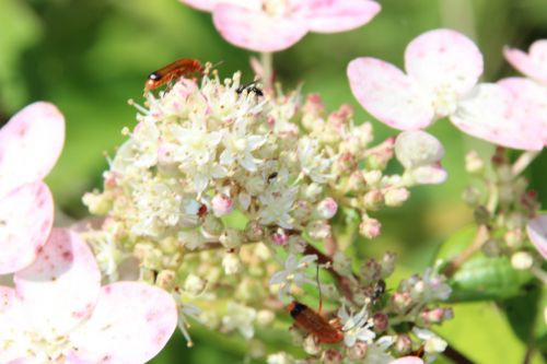 a hydrangea kyushu romi 16 juil 2014 028 (1).jpg
