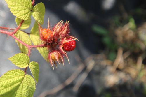 rubus phoenicolasius barres 27 juillet 2013 080 (5).jpg
