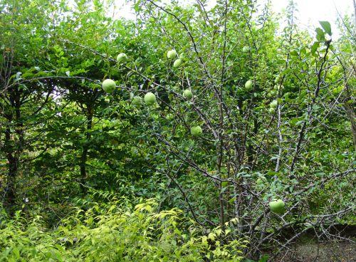 chaenomeles jap marnay 25 sept 2008 089.jpg